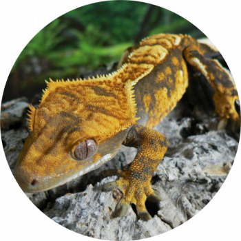 crested-gecko-cirlce-image