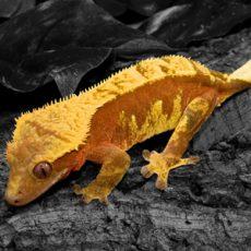 Eyelash Exotics | Live Harmless Reptiles 1