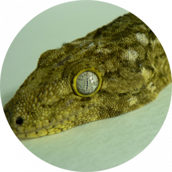 Eyelash Exotics | Live Harmless Reptiles For Sale 9