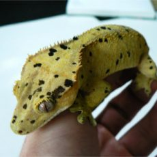 Eyelash Exotics | Live Harmless Reptiles For Sale 7