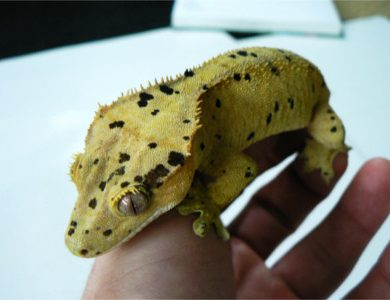 Eyelash Exotics   Live Harmless Reptiles For Sale 7