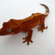 Eyelash Exotics | Live Harmless Reptiles For Sale 8