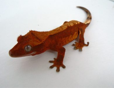 Eyelash Exotics | Live Harmless Reptiles For Sale 8
