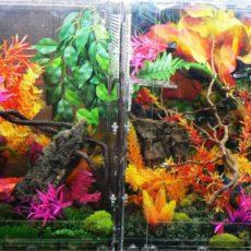 Eyelash Exotics | Live Harmless Reptiles Canada 1