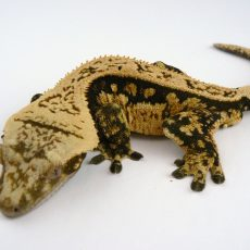 Eyelash Exotics | Live Harmless Reptiles For Sale 5